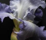 Iris (laurence Gondouin Boudgemai)